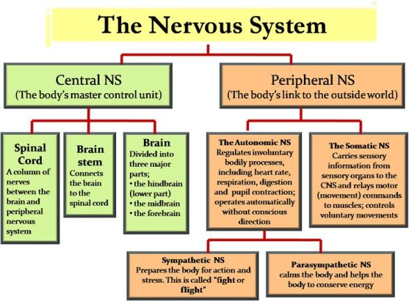 4090cd7ee307570d8810f6ea7241c74f--central-nervous-system-anatomy-peripheral-nervous-system.jpg